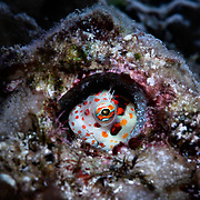 This is a male red-spotted blenny (Blenniella chrysospilos) watching over a clutch of eggs that are nearly ready to hatch. During spawning, males of this species select and prepare burrows like this, often abandoned homes of Dendropoma maximum snails. When a male is able to attract a female, she deposit eggs while the male remains nearby in another burrow. He visits periodically to fertilize deposited eggs. The pair repeats this process until the female is done and departs.