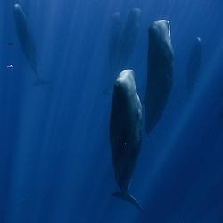 Sperm Whales / Cachalots