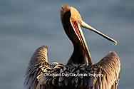 00672-00718 Brown Pelican (Pelecanus occidentalis), La Jolla cliffs, La Jolla, CA