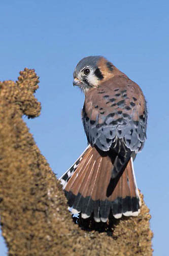 American Kestrel, (Falco sparverius)   Captive Animal.