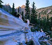 Fallen Giant Bristlecone Pineand Wheeler Peak at Dawn,Great Basin National Park, Nevada