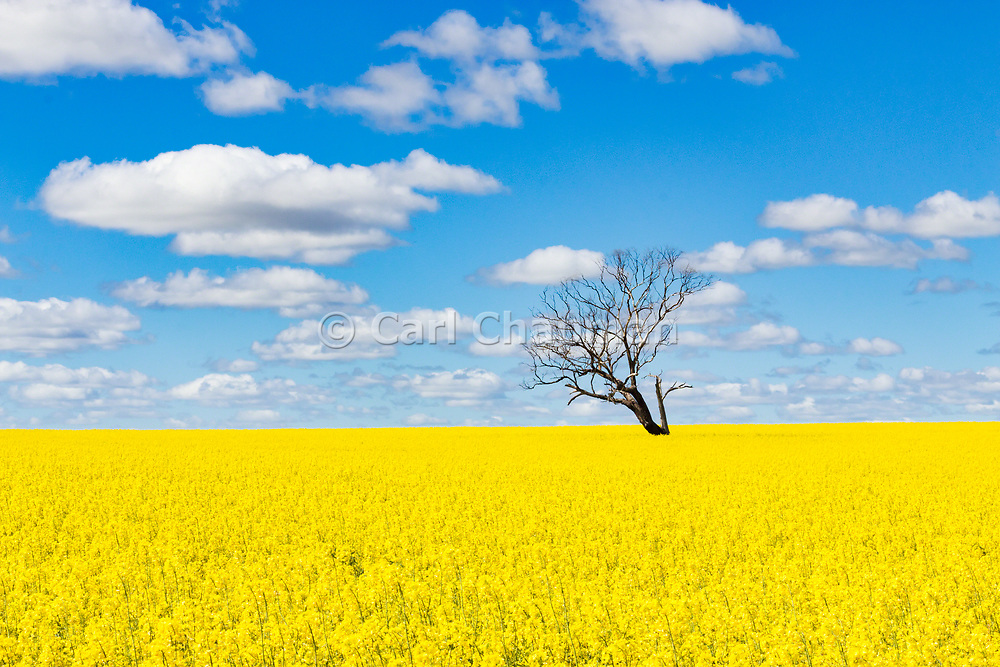 Tree without leaves in middle of a field of canola against blue sky near Boree Creek, New South Wales, Australia <br /> <br /> Editions:- Open Edition Print / Stock Image