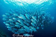 schooling bigeye jacks, Caranx sexfaciatus, Sipadan Island, off Borneo, Sabah, Malaysia ( Celebes Sea )