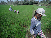 30 JANUARY 2018 - GUINOBATAN, ALBAY, PHILIPPINES:  Farmworkers in Guinobatan work in a rice field during an ash fall from the Mayon volcano.  The volcano continued to erupt but not as dramatically as it did last week. The small eruptions are still sending ash clouds over communities west of the volcano and the government is encouraging people to stay indoors, wear face masks and avoid strenuous activities when ash is falling.    PHOTO BY JACK KURTZ