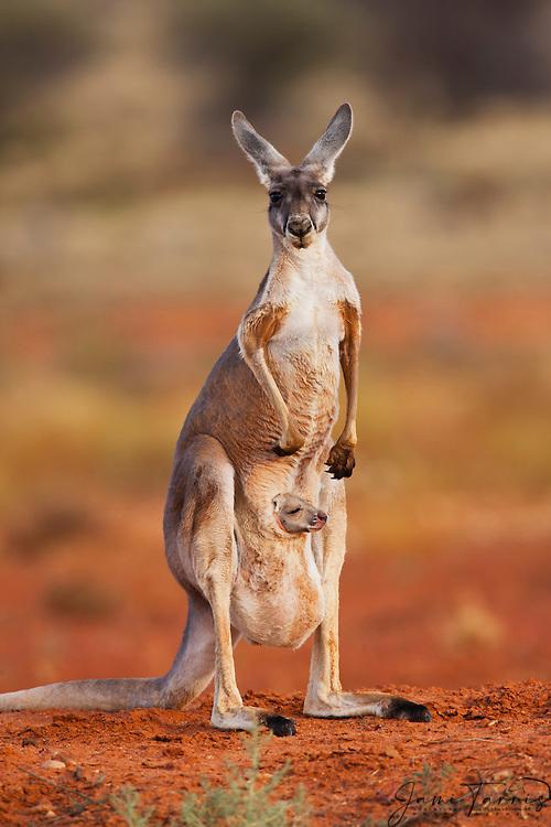 A red kangaroo infant joey starts to poke its head out of the pouch,(Macropus rufus) ,  Sturt Stony Desert,  Australia
