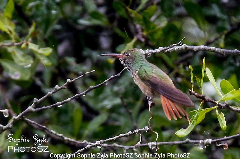 Buff-bellied Hummingbird Rainy Day Happy Face