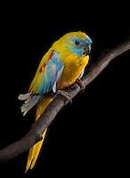 Turquosinne Parakeet, (Neophema pulchella); captive, credit: Pandemonium Aviaries/M.D.Kern