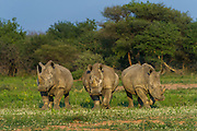 White rhinoceros (Ceratotherium simum)<br /> Marataba, A section of the National Park, <br /> SOUTH AFRICA<br /> RANGE: Southern & East Africa<br /> ENDANGERED SPECIES