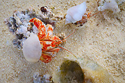 Hermit crab, Honeymoon Island, Aitutaki, Cook Islands, South Pacific