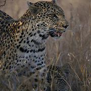 Leopard, mother and cub, Timbavati Game Reserve, South Africa.