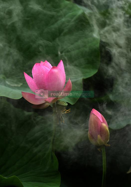 June 15, 2018 - Qiqihar, Qiqihar, China - Qiqihar, CHINA-15th June 2018: Lotus flowers blossom in Qiqihar, northeast China's Heilongjiang Province, June 15th, 2018. (Credit Image: © SIPA Asia via ZUMA Wire)
