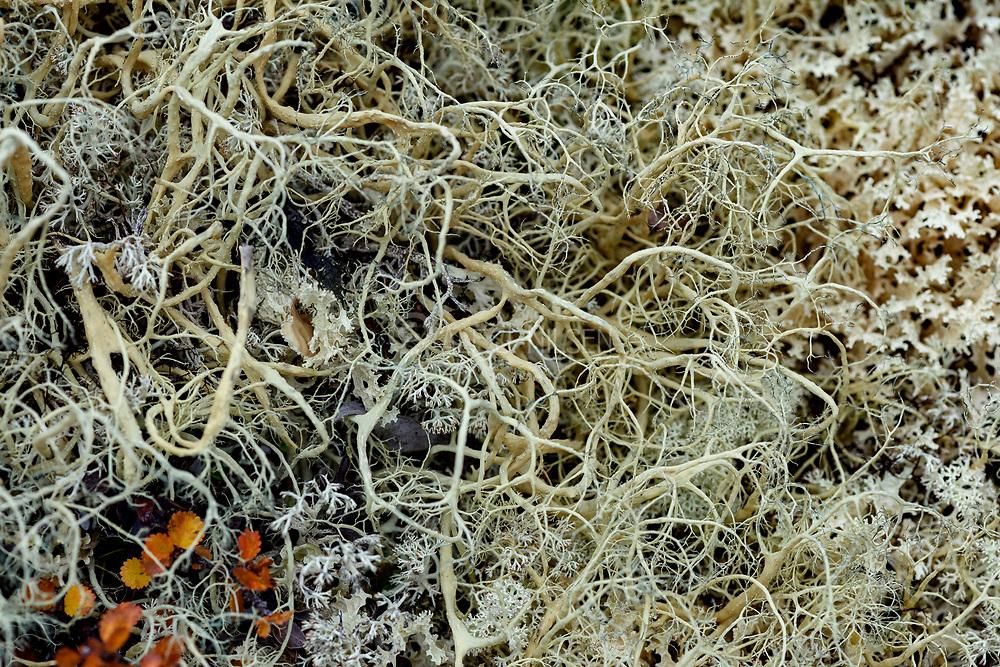 Witch's-hair Lichen (Alectoria ochroleuca) from Hjerkinn (Dovre, Innlandet), Norway.