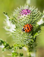 HALFWEG - lieveheersbeestje.  Herlequin lady beetle (Hippodamia tredecimpunctata).  Wilde bloemen op de baan van de   Amsterdamse Golf Club   COPYRIGHT KOEN SUYK