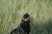 Kenya, Samburu National Reserve, Kenya, close up of a Long-crested Eagle (Lophaetus occipitalis) hiding in the grass, looking at camera