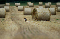 Wies Sierki, 02.08.2020. Zniwa na Podlasiu w pelni. Rolnicy ze wzgledu na niestabilna pogode, w obawie przed deszczem, zbieraja zboze z pol rowniez w nocy N/z bele slomy na polu czekaja na zwiezienie; lis szukajacy pozywienia fot Michal Kosc / AGENCJA WSCHOD