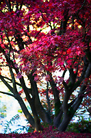 A Japanese Maple stunning in Fall Colors.