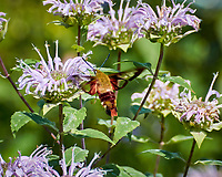 Hummingbird Clearwing Moth (Hemaris thysbe) feeding on a Lemon-Mint (Bee Balm). Image taken with a Nikon N1V3 camera and 70-300 mm VR lens