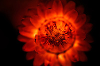 A selective focus macro of a strawflower that looks ablaze.