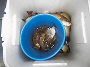 Fisherman's catch of the day Caye Caulker, Belize