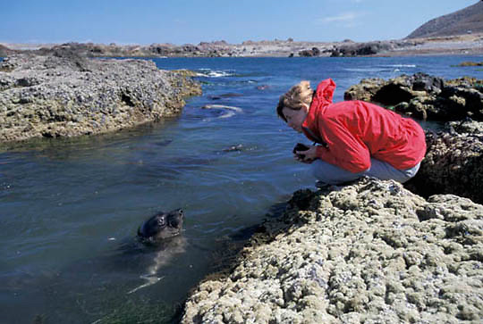 Northern Elephant Seal, (Mirounga angustirostris) Tanya Cox observing weaners learning to swim in natural pool on San Benito Island. Baja Mexico.