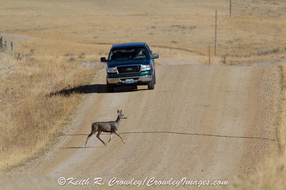 Mule Deer Doe Crossing Rural Road in Front of Truck