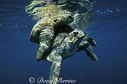 green sea turtles, mating (male on top), Chelonia mydas, Sipadan Island, Borneo, Malaysia ( Pacific )