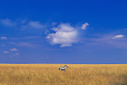Image of a plains zebra standing in a meadow at the Masai Mara National Reserve in Kenya, Africa by Randy Wells