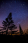 A Norkolk pine tree is  silhouetted against a starry sky in Hawaii