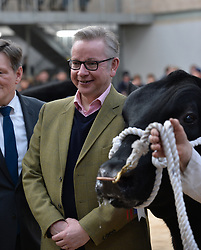 Pictured: Michael Gove MP at tje champion Aberdeen Angus judging.<br /> <br /> Westminster Rural Affairs Secretary Michael Gove MP visited the bull sales in Stirling, where he met farmers and watched the auction.<br /> <br /> <br /> <br /> © Dave Johnston/ EEm