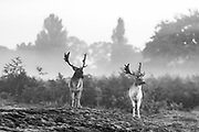 Two Stags are seen during the breeding season which takes place during autumn, in Bushy Park, south-west London on Friday, Oct 16, 2020. (VXP Photo/ Vudi Xhymshiti)