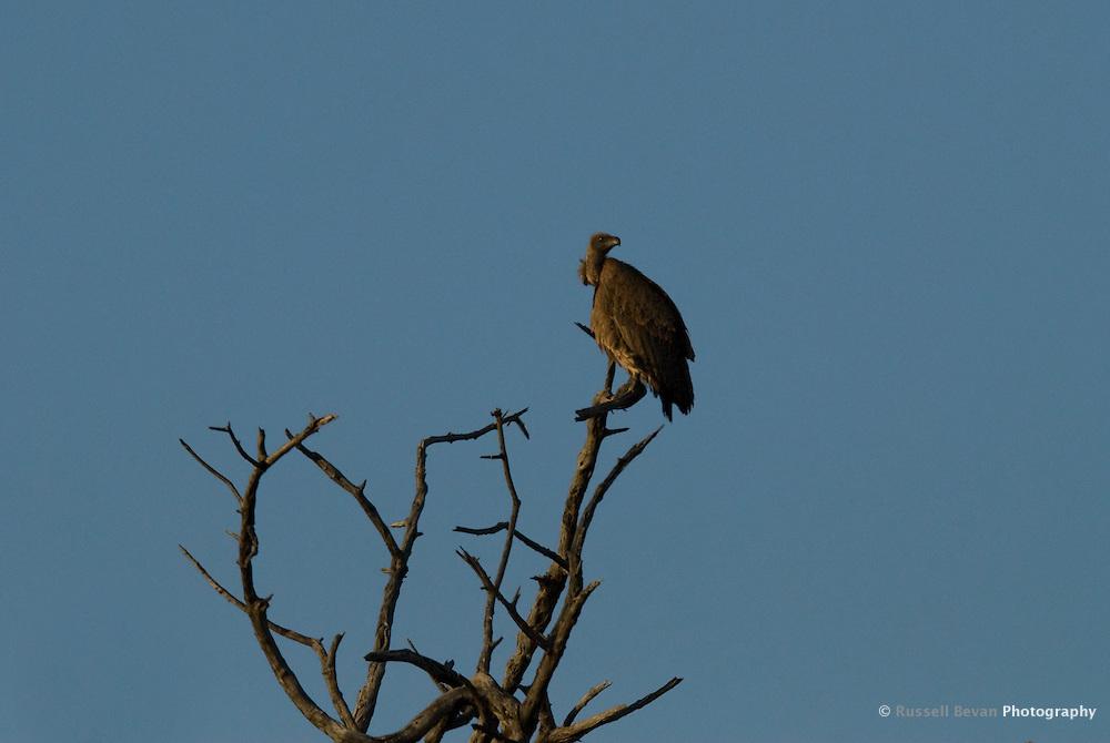 Vulture in tree at Chobe National Park, Botswana