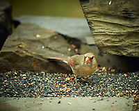 Female Northern Cardinal. Image taken with a Nikon D4 camera and 600 mm f/4 VR lens (ISO 360, 600 mm, f/4, 1/800 sec).