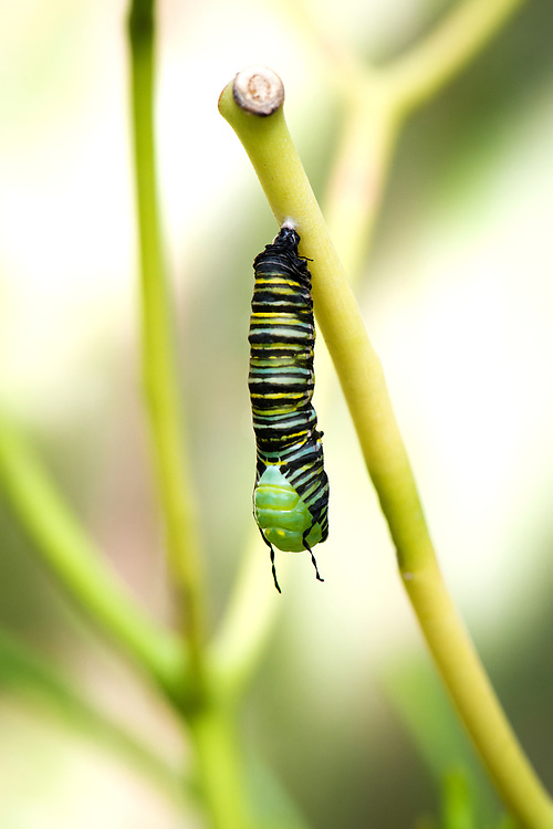The caterpillar sheds its skin for the fifth and  final time.