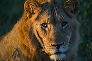 Lion (Panthera leo)<br /> Marakele Private Reserve, Waterberg Biosphere Reserve<br /> Limpopo Province<br /> SOUTH AFRICA<br /> RANGE: