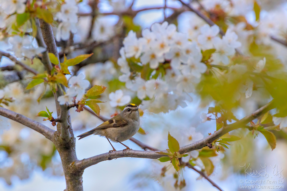 A golden-crowned kinglet (Regulus satrapa) is surrounded by spring blossoms as it perches in a cherry tree in Snohomish County, Washington.