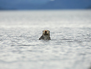 red-nosed sea otter in water upright, looking