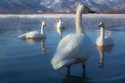 Japanese Whooper swans (Cygnus cygnus) in a frozen lake, Lake Kussharo, Hokkaido, Japan