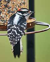 Downy Woodpecker (Dryobates pubescens). Image taken with a Nikon D5 camera and 600 mm f/4 VR telephoto lens.