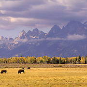 Bison (Bison bison) grazing in Grand Teton National Park, Wyoming during the fall.