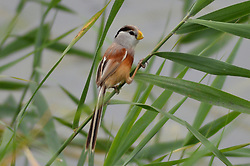 July 5, 2018 - Qingdao, Qingdao, China - Qingdao, CHINA-Reed parrotbills can be seen in Qingdao, east China's Shandong Province. The reed parrotbill (Paradoxornis heudei) is a species of bird in the Sylviidae family. It is found in Manchuria and eastern China. It is threatened by habitat loss. (Credit Image: © SIPA Asia via ZUMA Wire)