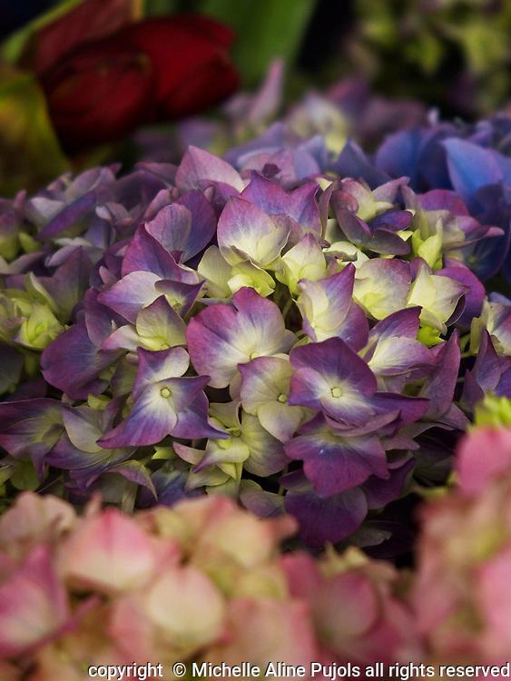 Hydrangea plants on sale at the Paris Market.