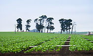 A distinctive line of cypress trees in an agricultural field near Moss Landing, California