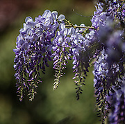Wisteria puts forth its clouds of purple bloom weeks early. (Steve Ringman / The Seattle Times)