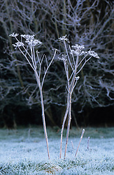Hoar frost on a hogweed in the orchard.