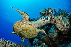 Eretmochelys imbricata, Echte Karettschildkröte am Korallenriff, Hawksbill Sea turtle in coralreef, BHurghada, Insel Giftun Riff, Rotes Meer, Ägytpen, Giftun Island Reef, Red Sea, Egypt