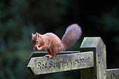 Les Gibbon - Red Squirrel & Camera
