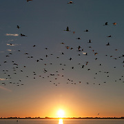 A flock of white ibis (Eudocimus albus) fly across Placida Harbor on the way to their roosting site. Florida