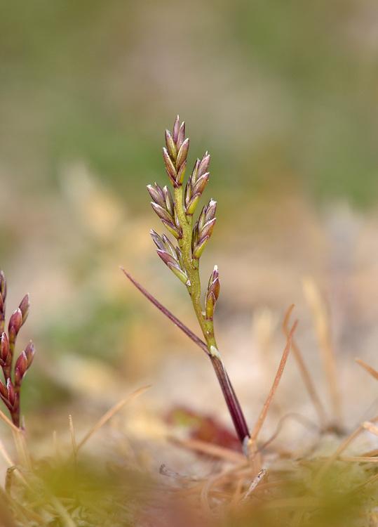 Sea Fern-grass - Catapodium marinum