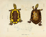 D'Orbigny's slider or the black-bellied slider (Trachemys dorbigni) [here as emys orbignyi], hand coloured sketch From the book 'Voyage dans l'Amérique Méridionale' [Journey to South America: (Brazil, the eastern republic of Uruguay, the Argentine Republic, Patagonia, the republic of Chile, the republic of Bolivia, the republic of Peru), executed during the years 1826 - 1833] Volume 5 Part 1 By: Orbigny, Alcide Dessalines d', d'Orbigny, 1802-1857; Montagne, Jean François Camille, 1784-1866; Martius, Karl Friedrich Philipp von, 1794-1868 Published Paris :Chez Pitois-Levrault. Publishes in Paris in 1847