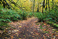 Sword Ferns (Polystichum munitum) line the path through the Vine Maple Forest at Campbell Valley Park in Langley, British Columbia, Canada